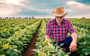 Farmer checking crop in a soybean field . Agricultural concept